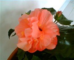 Гибискус абрикосового цвета