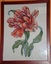Полосатый тюльпан