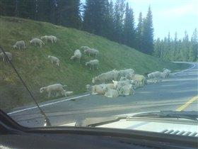 А у нас в деревне овцы пикник на обочине устраивают...