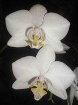 открыт сезон цветения белых орхидей