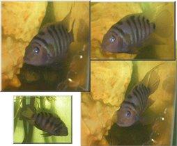 Рыбка-цихлидка