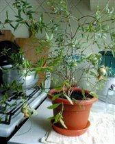 Маленькое гранатовое деревце в этом году дало плоды)))