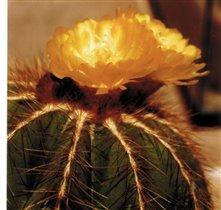 Eriocactus magnificus