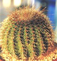 Eriocactus shumanianus