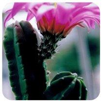 Echinocereus moricelii 2
