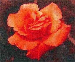 роза ГК (free)