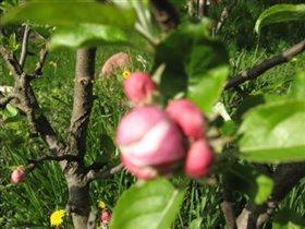 Наша малютка - яблонька высотой в 80 см. Ей лет15))