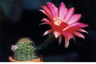 цветы: эхинопсис  гоффмани