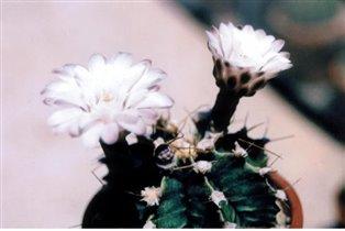 гимнокалициум михановичи