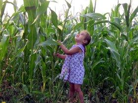 Вот это кукуруза.