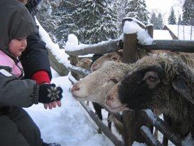 Кормим овечек