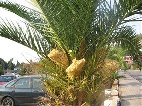 пальма цветет