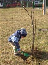 Субботник. Дима окапывает деревья.
