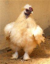 Китайская какая-то курица