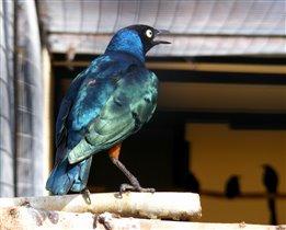 Голубой скворец