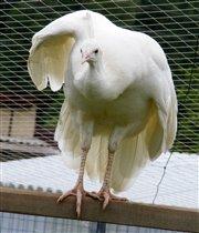 Индийский белый павлин