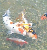 Толстые прожорливые рыбки