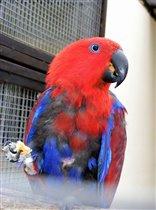 Благородный двухцветный попугай