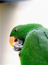 Самец благородного двухцветного попугая