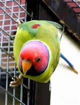 Сливоголовый попугай