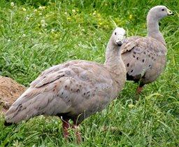 Куриные гуси