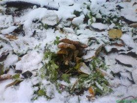 Грибы на снегу