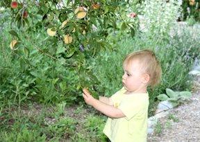 sam sobiraet persiki