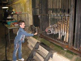 кормежка тигра в зоопарке