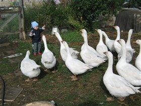 Бабуле помогает пасти гусей...