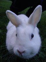 Декоративный крол Пуша, семейство очковые
