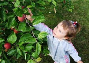 Так вот вы какие, наливные яблочки!