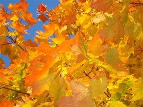 Словно тысячи солнц кленовые листья горят!