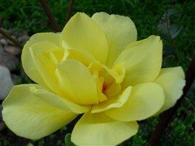 Желтая прелесть