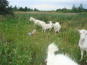 Козочки и пастух.