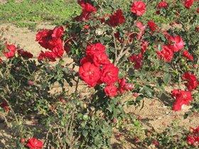 Розы на городской клумбе