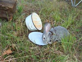 Наш заяц облизывал миску после шашлыка.