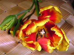 волшебный тюльпан