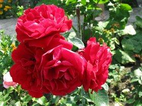 Мамины любимые розы