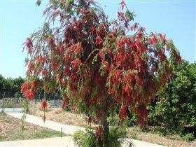 Кипрское дерево