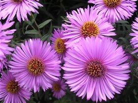 эти цветочки радуют нас даже после первых морозов