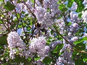 Сирень и пчелка