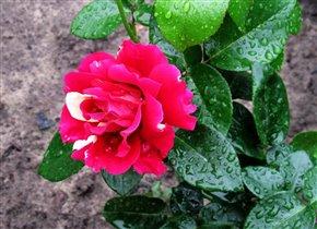 одна из прекрасных роз, какие растут у нас в парке