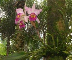 Орхидея, о-в Бали