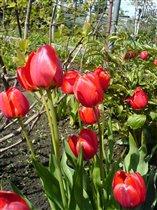 сочные тюльпаны!
