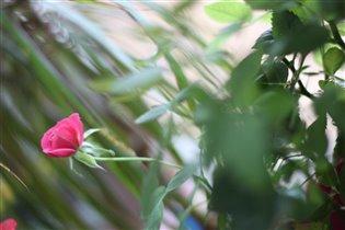 маленькая нежная роза