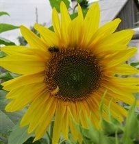 Пчелка на солнышке.