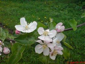 Яблони в цвету.