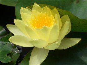 Желтая кувшинка (водяная лилия)
