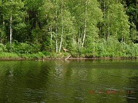 Лиса у реки