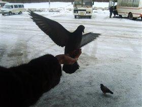 голубь голубчик
